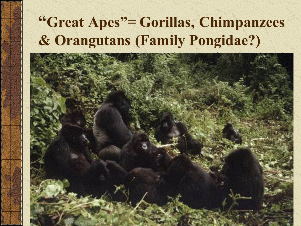 Great Apes = Gorillas, Chimpanzees & Orangutans (Family Pongidae )