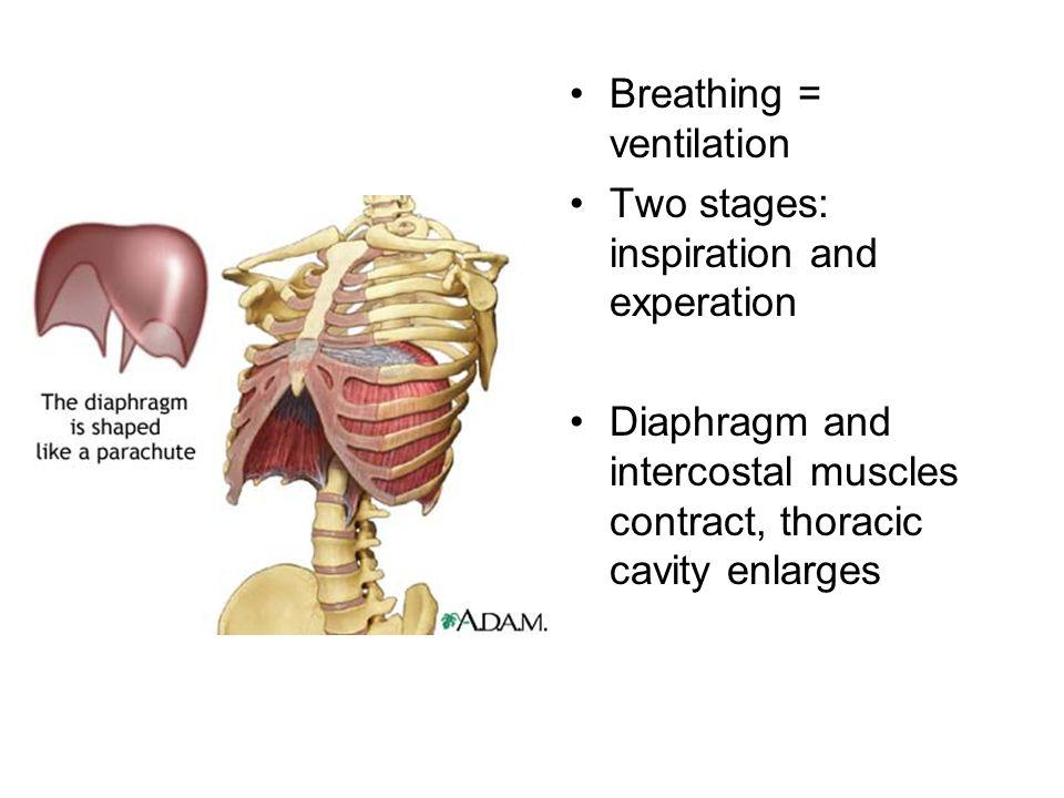 Breathing = ventilation