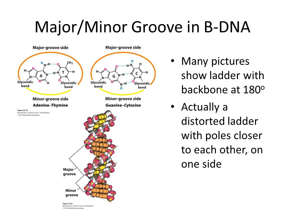 Structure of Informational Molecules: DNA and RNA