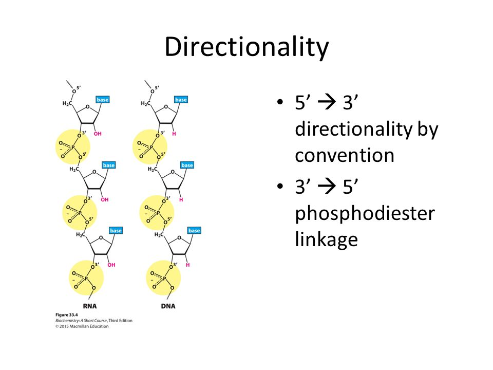 Structure Of Informational Molecules Dna And Rna Ppt