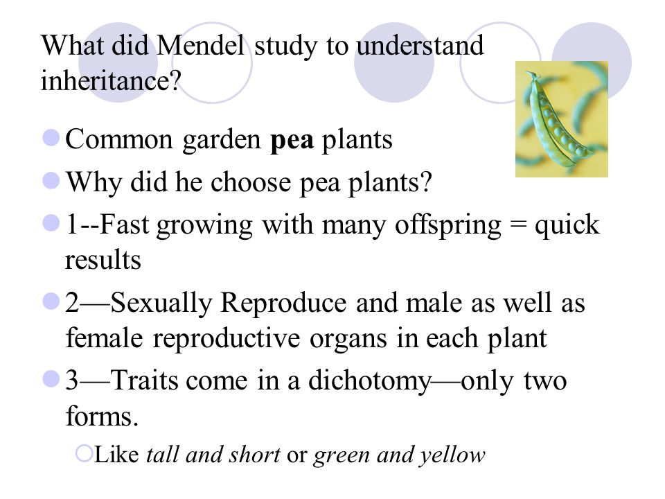 What did Mendel study to understand inheritance
