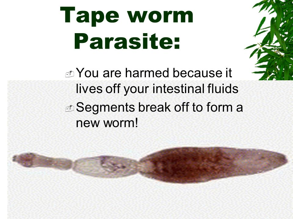 Tape worm Parasite: You are harmed because it lives off your intestinal fluids.
