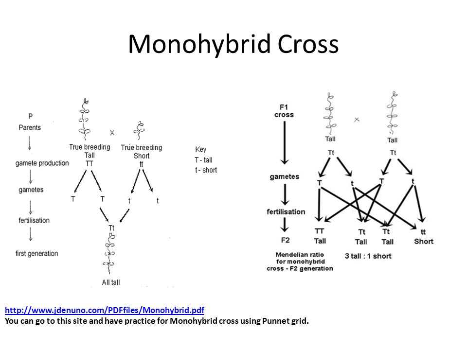 Monohybrid Cross Problems Worksheet With Answers Best Of Monohybrid Homework Problems Gallery