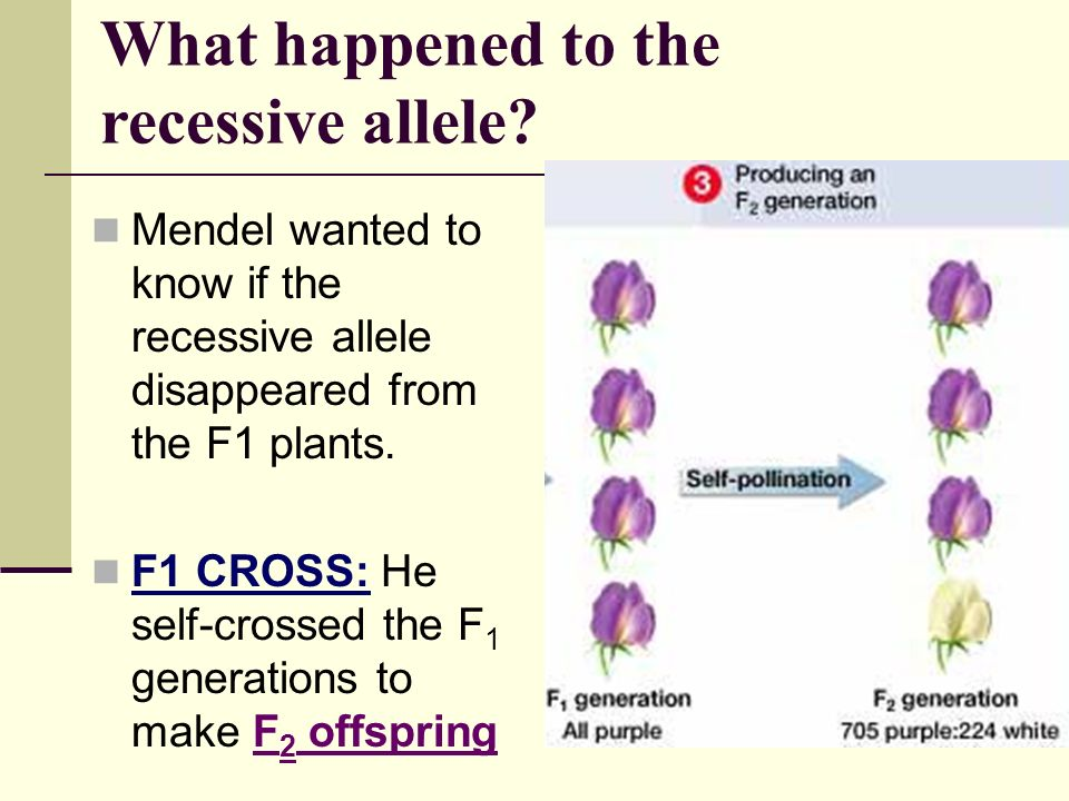 What happened to the recessive allele