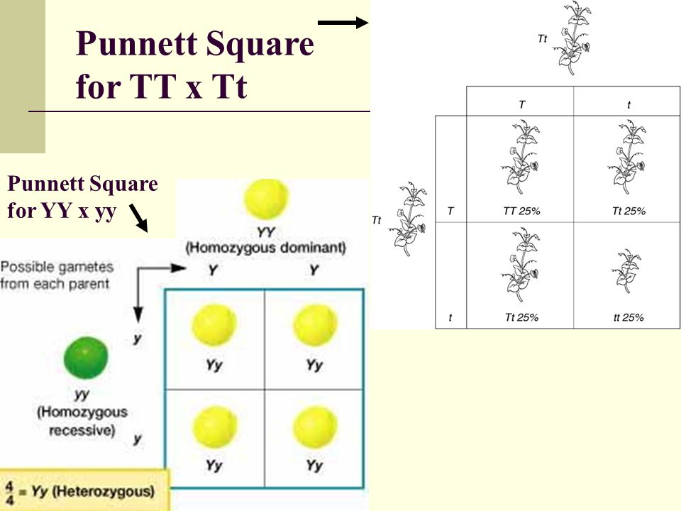 Punnett Square for TT x Tt