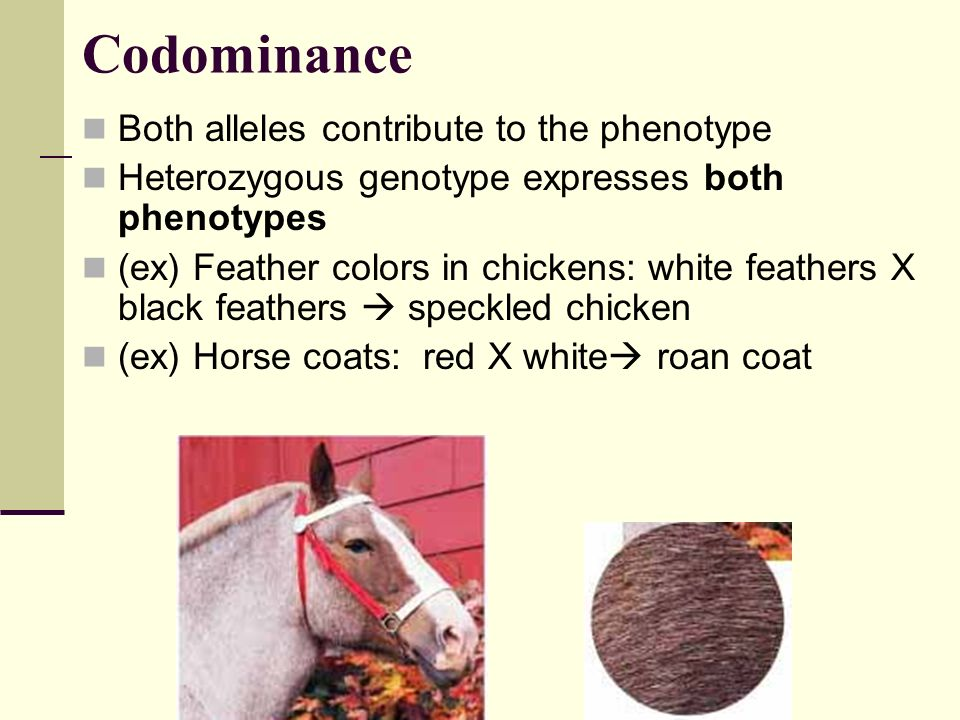 Codominance Both alleles contribute to the phenotype