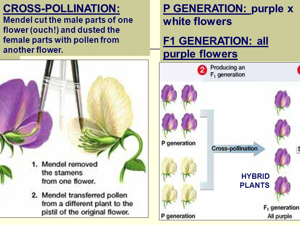 P GENERATION: purple x white flowers F1 GENERATION: all purple flowers