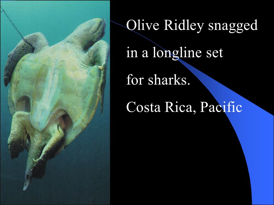Olive Ridley snagged in a longline set for sharks. Costa Rica, Pacific