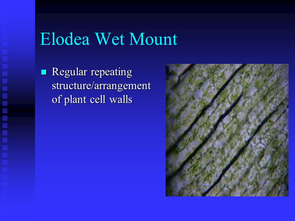 Elodea Wet Mount Regular repeating structure/arrangement of plant cell walls
