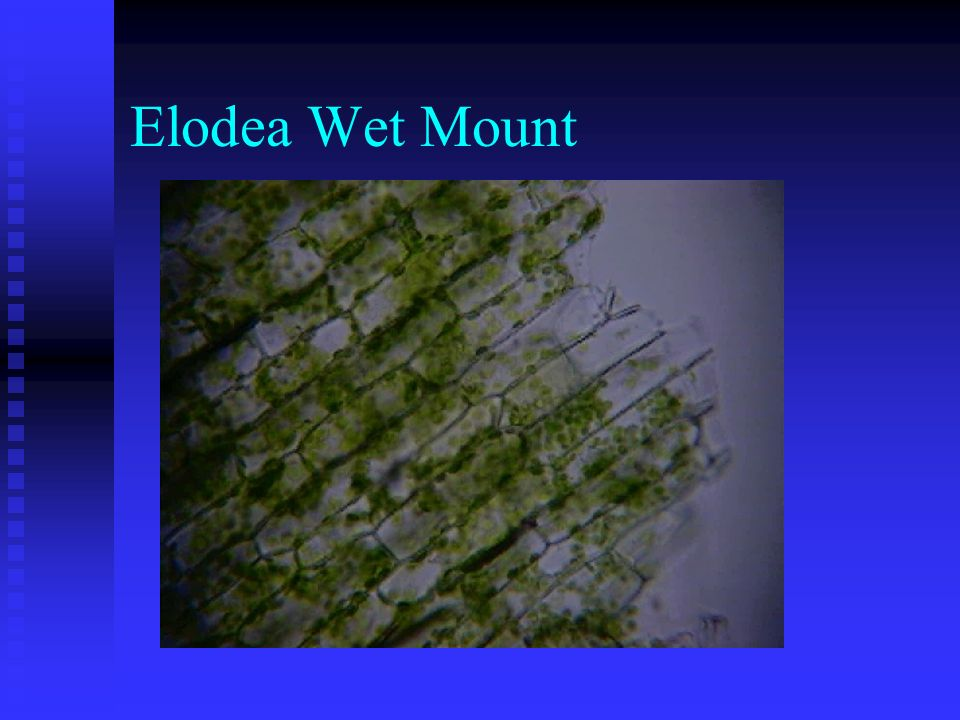Elodea Wet Mount