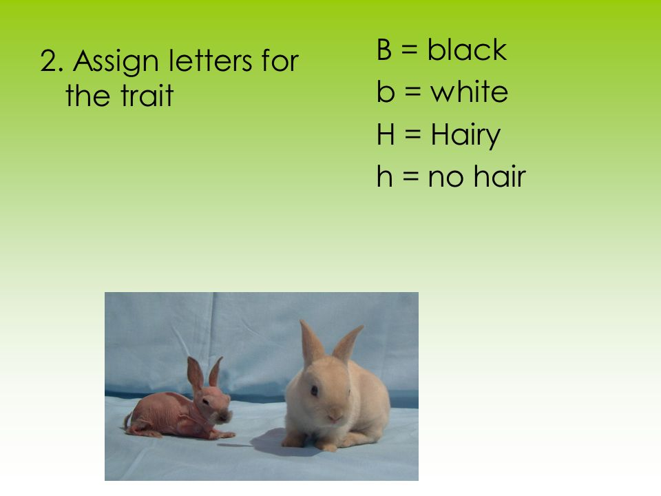B = black b = white H = Hairy h = no hair 2. Assign letters for the trait