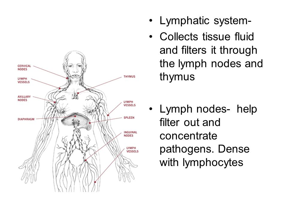 Lymphatic system- Collects tissue fluid and filters it through the lymph nodes and thymus.