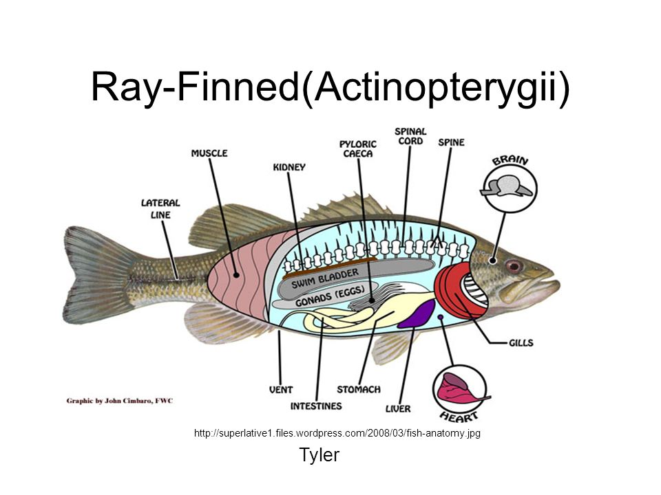 Ray-Finned(Actinopterygii)