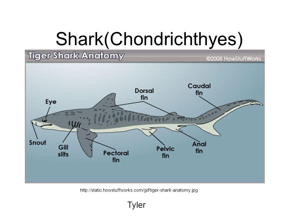 Shark(Chondrichthyes)