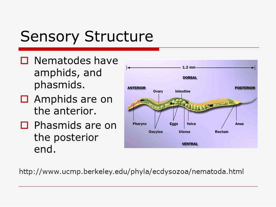 Sensory Structure Nematodes have amphids, and phasmids.