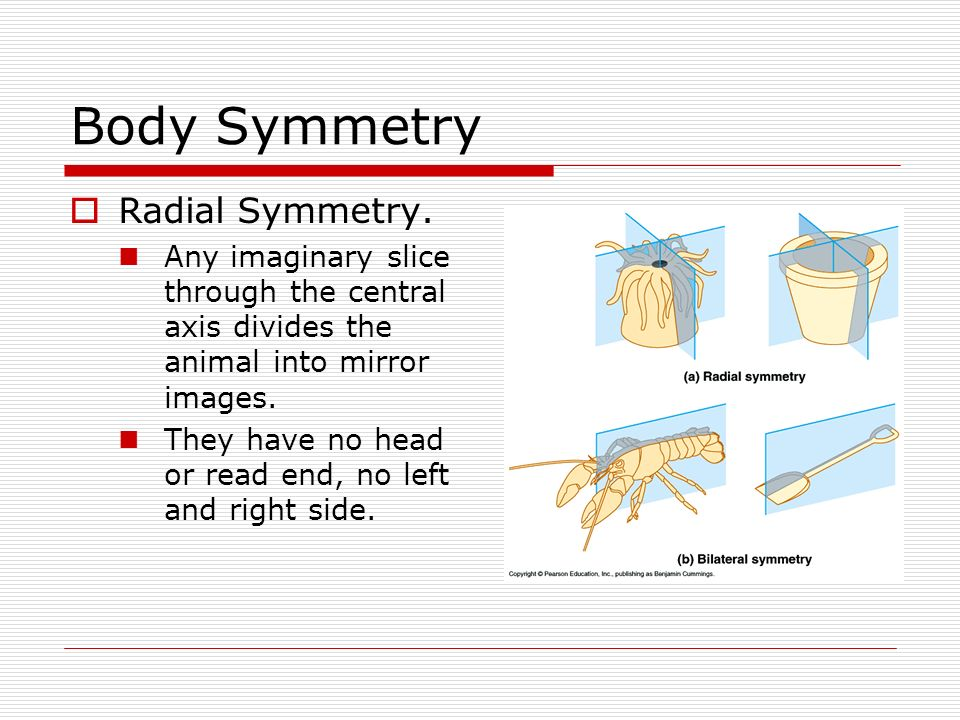 Body Symmetry Radial Symmetry.
