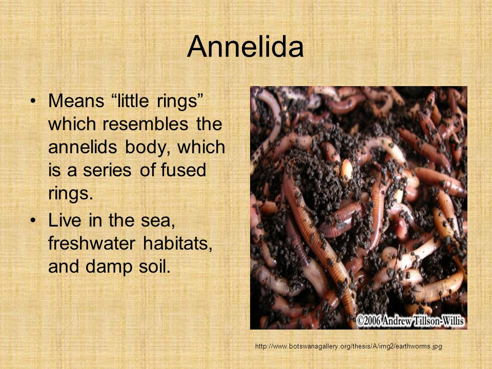 Annelida Means little rings which resembles the annelids body, which is a series of fused rings.