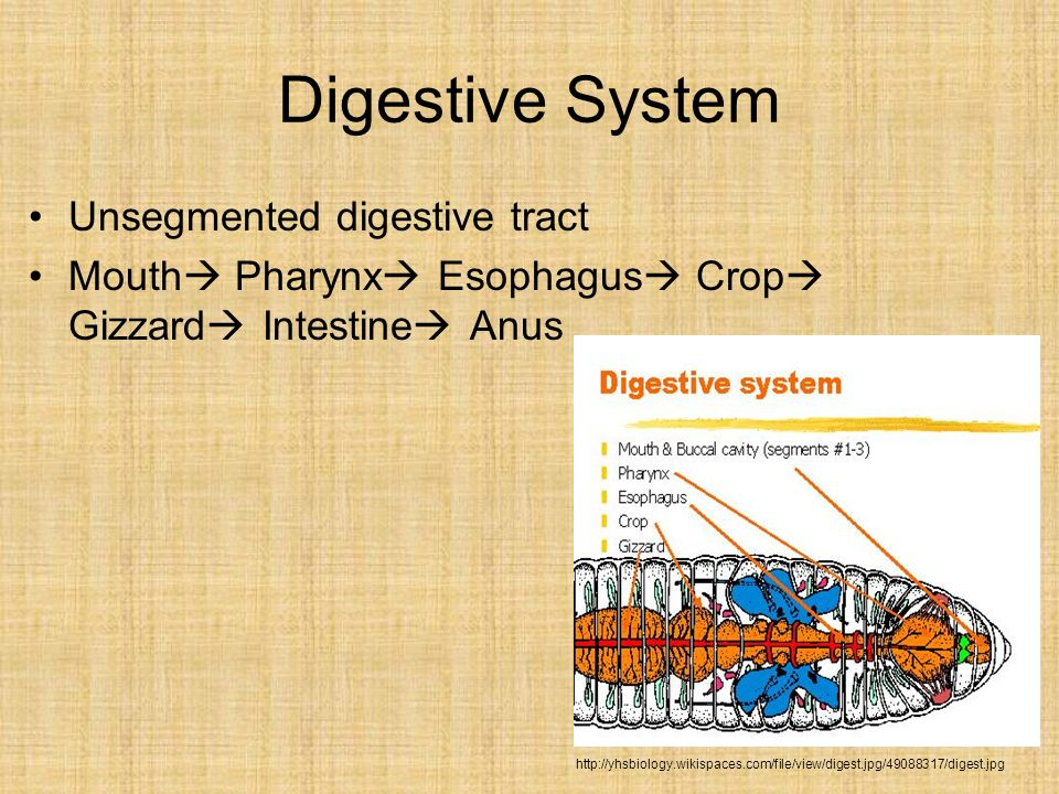 Digestive System Unsegmented digestive tract