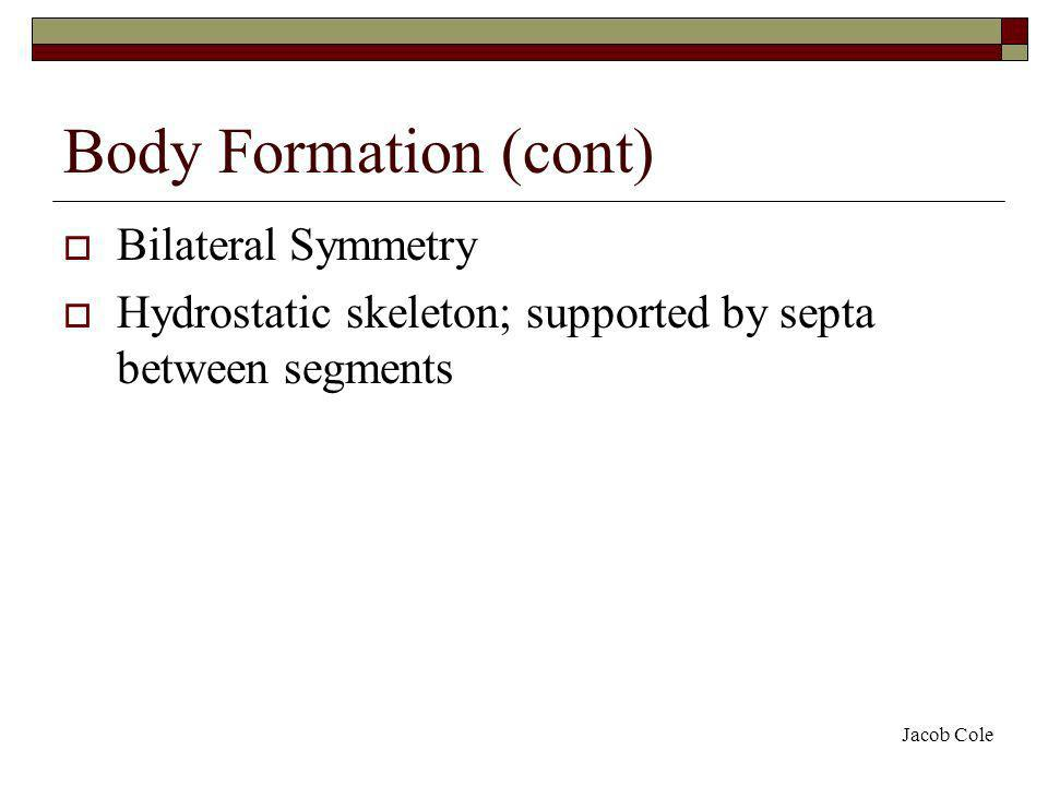 Body Formation (cont) Bilateral Symmetry