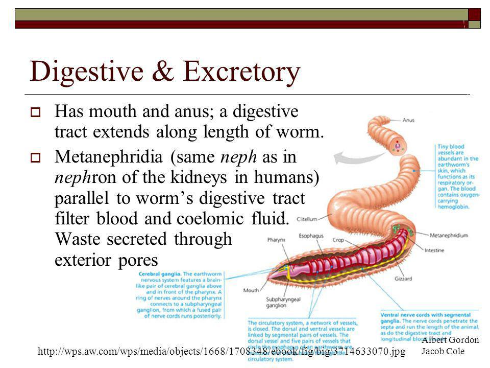 Digestive & Excretory Has mouth and anus; a digestive tract extends along length of worm.