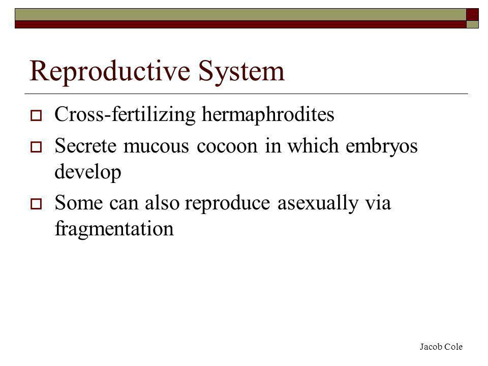Reproductive System Cross-fertilizing hermaphrodites