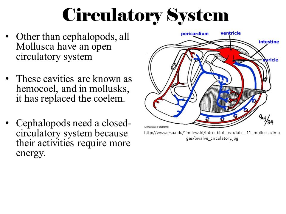 Circulatory System Other than cephalopods, all Mollusca have an open circulatory system.