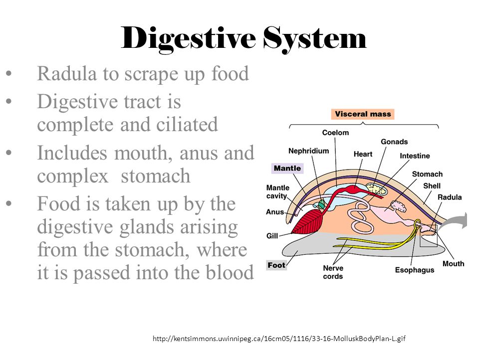 Digestive System Radula to scrape up food