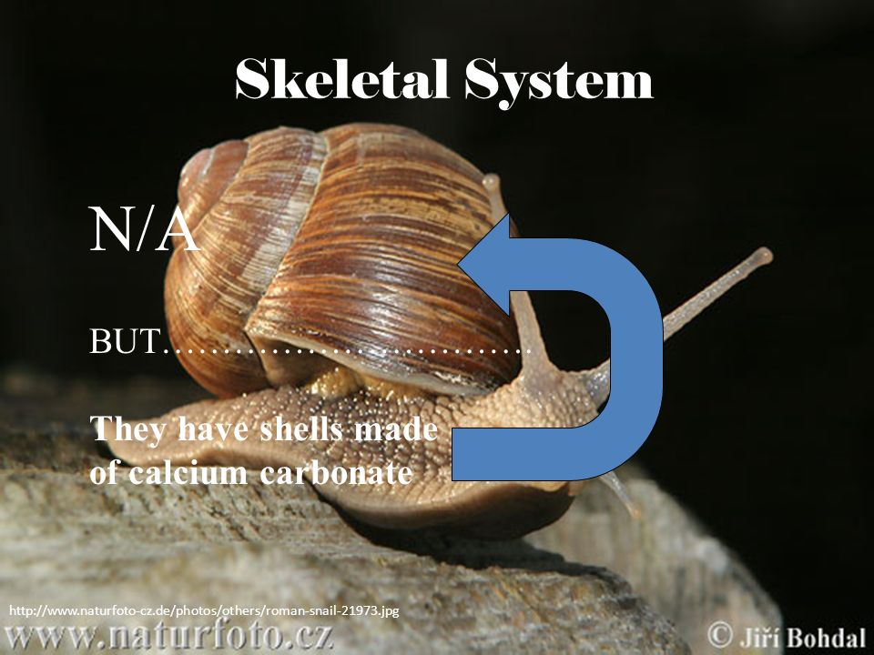 N/A Skeletal System BUT…………………………. They have shells made