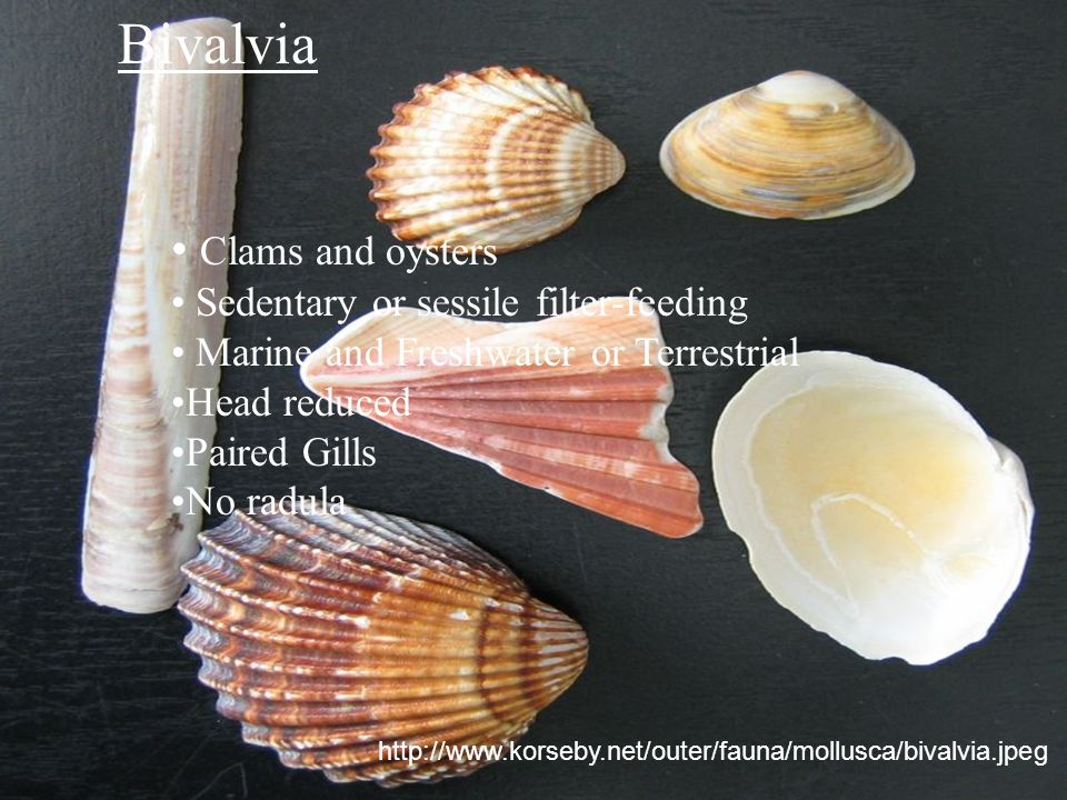 Bivalvia Clams and oysters Sedentary or sessile filter-feeding