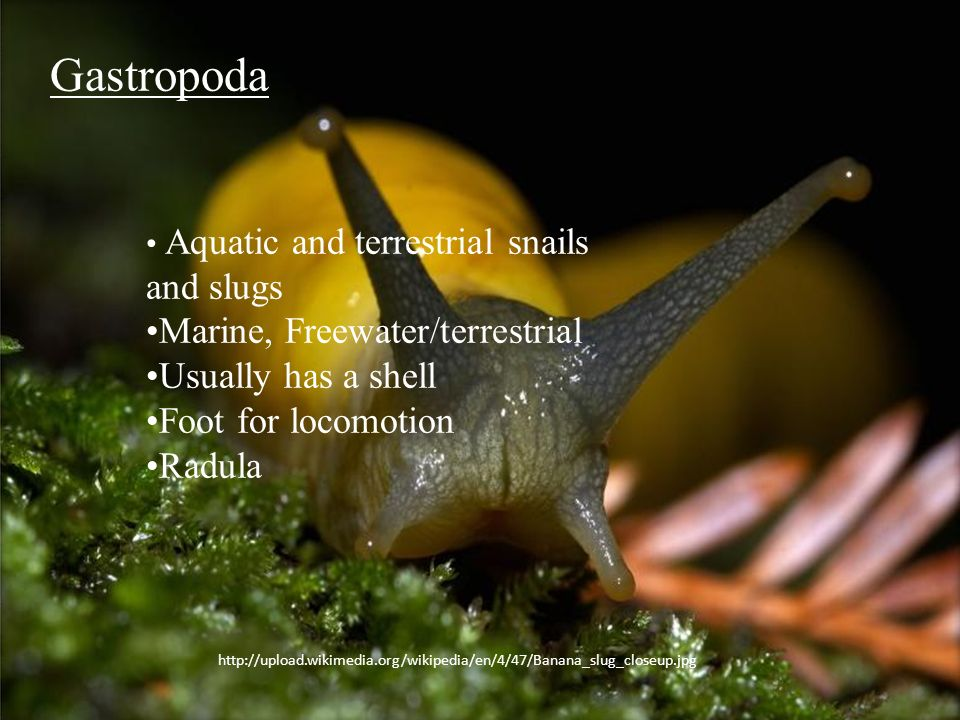 Gastropoda Marine, Freewater/terrestrial Usually has a shell