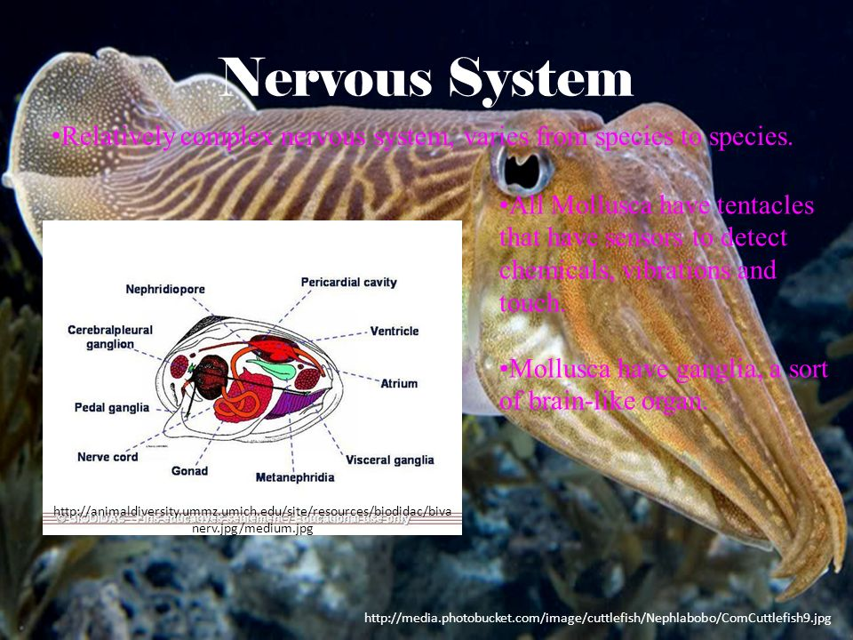 Nervous System Relatively complex nervous system, varies from species to species.