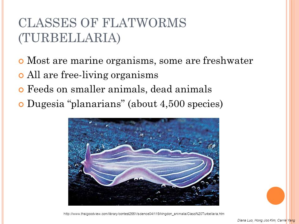 CLASSES OF FLATWORMS (TURBELLARIA)