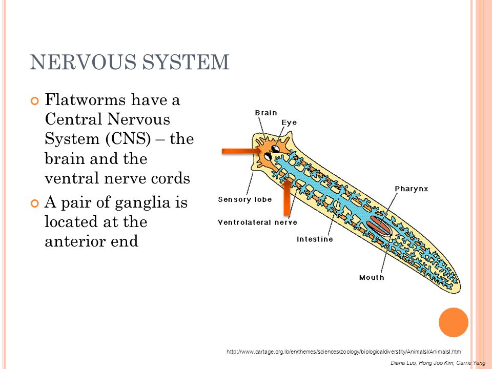 NERVOUS SYSTEM Flatworms have a Central Nervous System (CNS) – the brain and the ventral nerve cords.