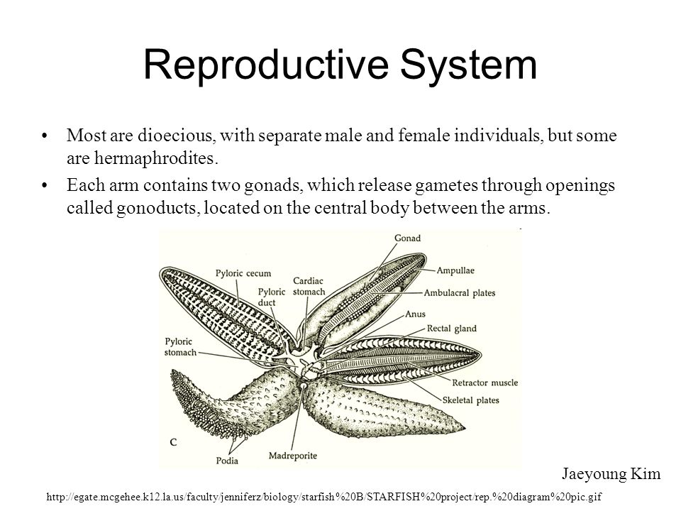 Reproductive System Most are dioecious, with separate male and female individuals, but some are hermaphrodites.