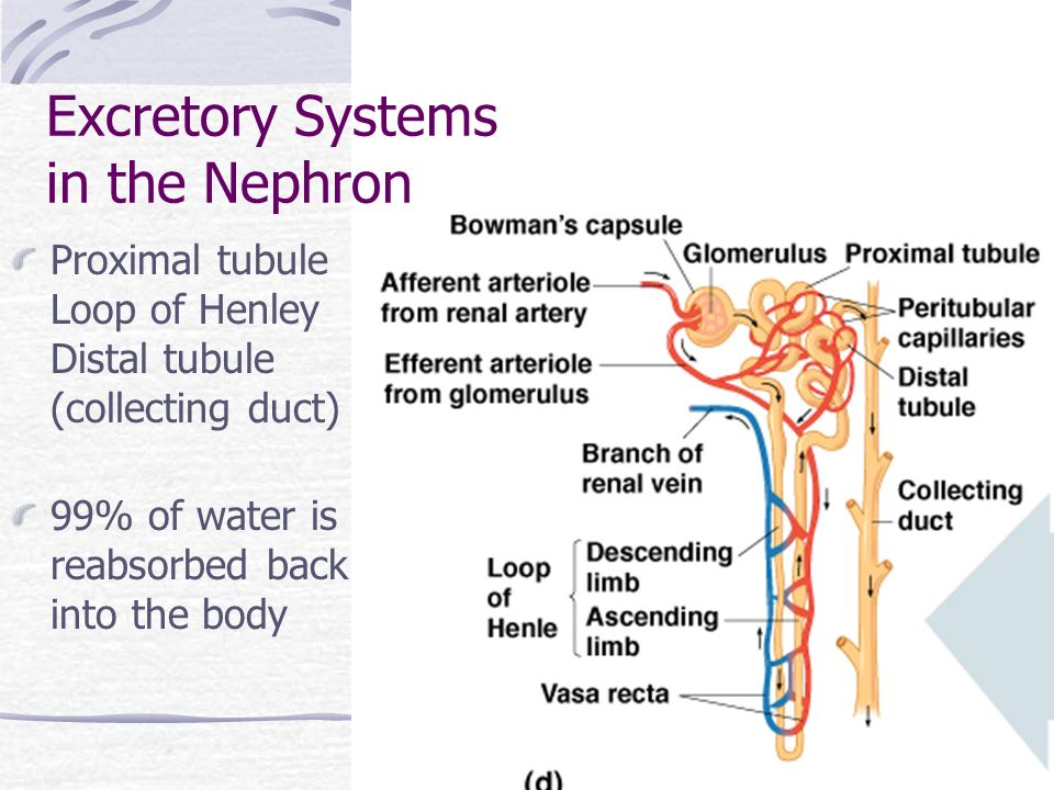 Excretory Systems in the Nephron