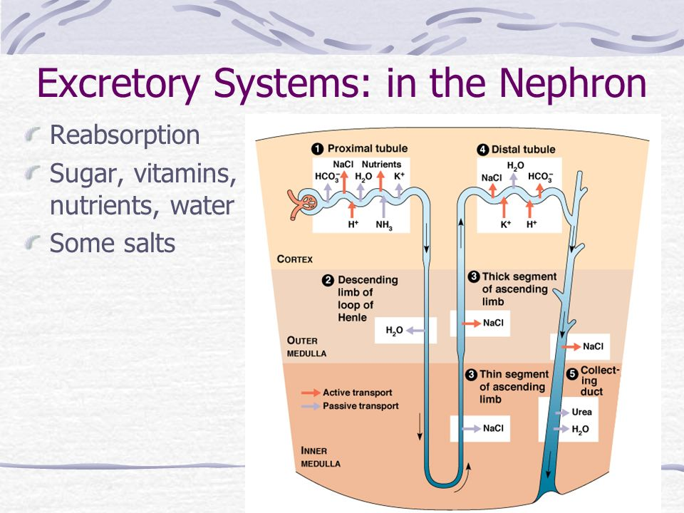 Excretory Systems: in the Nephron