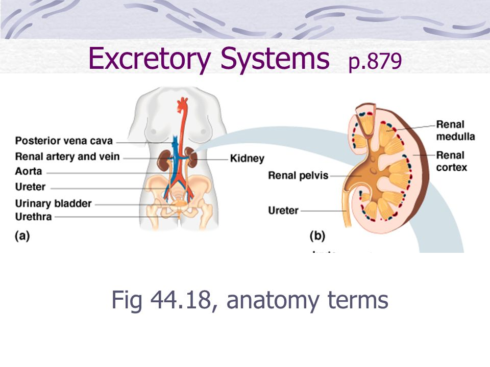 Excretory Systems p.879 Fig 44.18, anatomy terms
