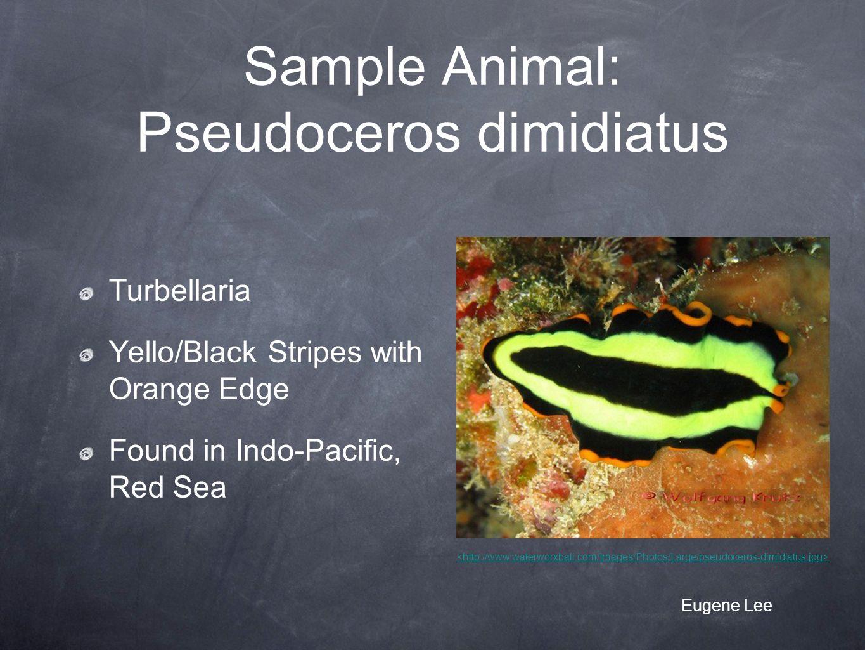 Sample Animal: Pseudoceros dimidiatus