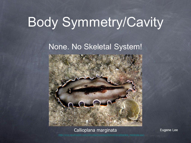 Body Symmetry/Cavity None. No Skeletal System! Callioplana marginata
