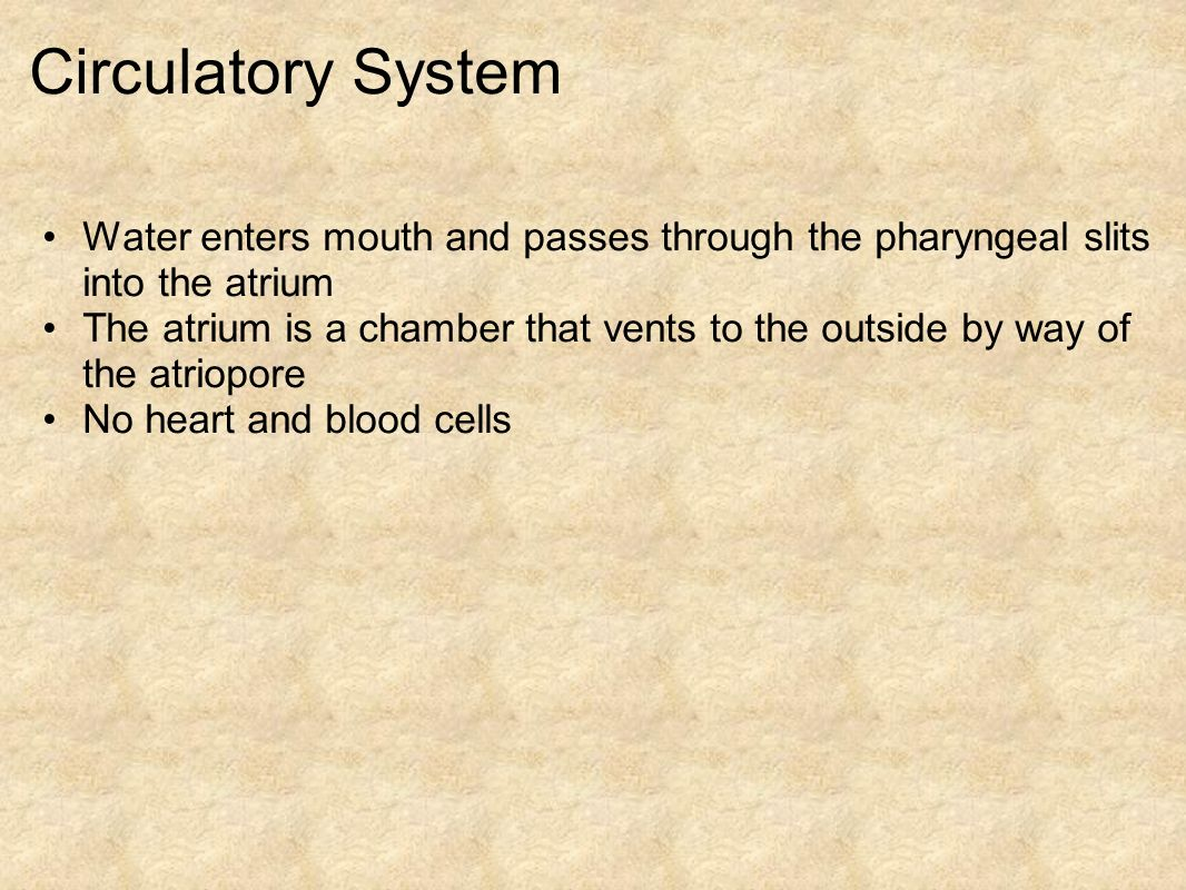 Circulatory System Water enters mouth and passes through the pharyngeal slits into the atrium.