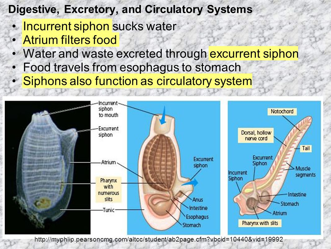 Digestive, Excretory, and Circulatory Systems