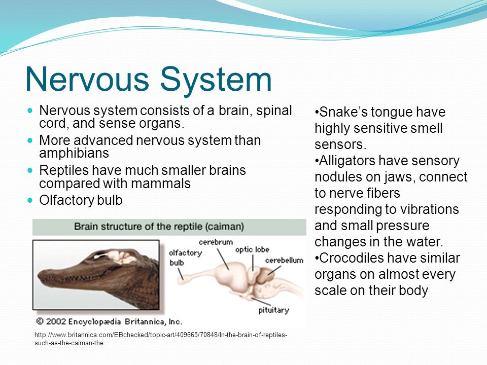 Nervous System Nervous system consists of a brain, spinal cord, and sense organs. More advanced nervous system than amphibians.