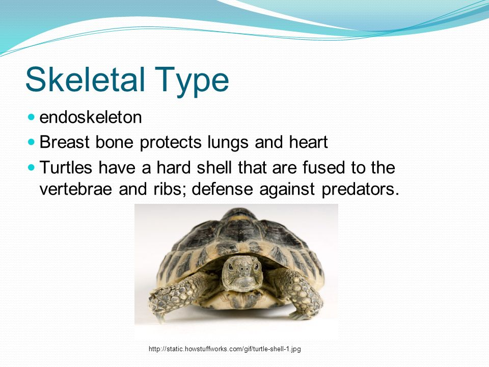 Skeletal Type endoskeleton Breast bone protects lungs and heart