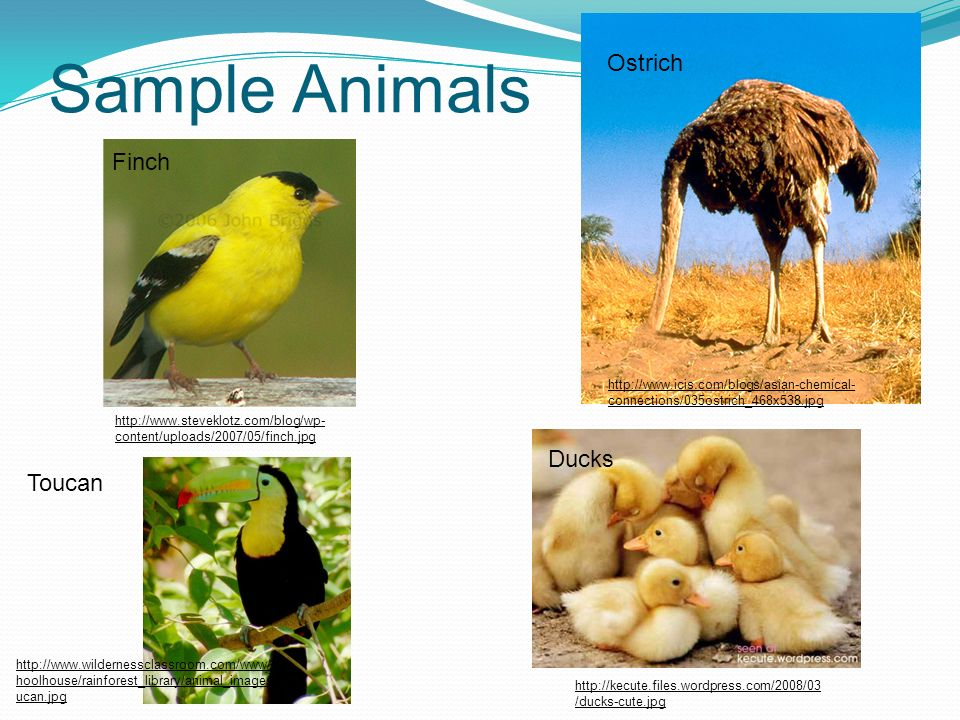 Sample Animals Ostrich Finch Ducks Toucan