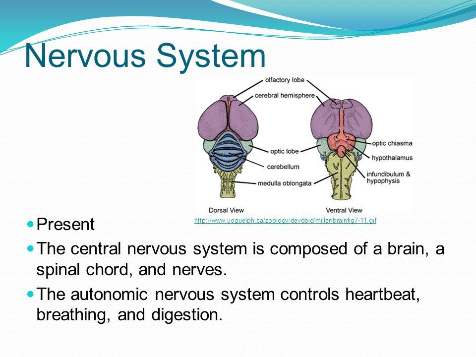 Nervous System Present