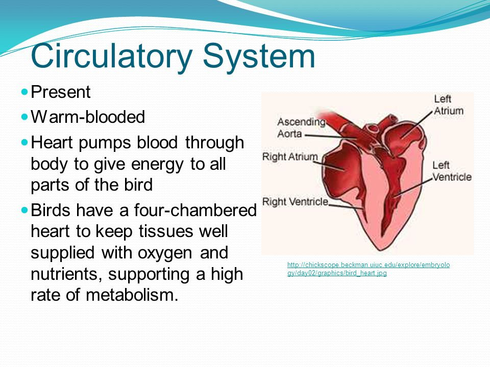 Circulatory System Present Warm-blooded