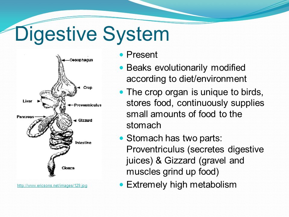 Digestive System Present
