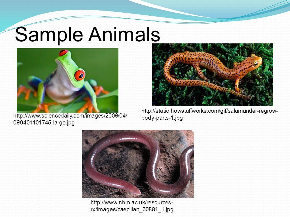 Sample Animals http://static.howstuffworks.com/gif/salamander-regrow-body-parts-1.jpg.
