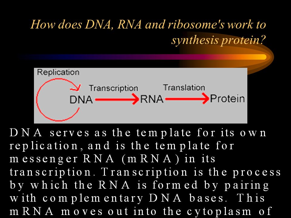 How does DNA, RNA and ribosome s work to synthesis protein
