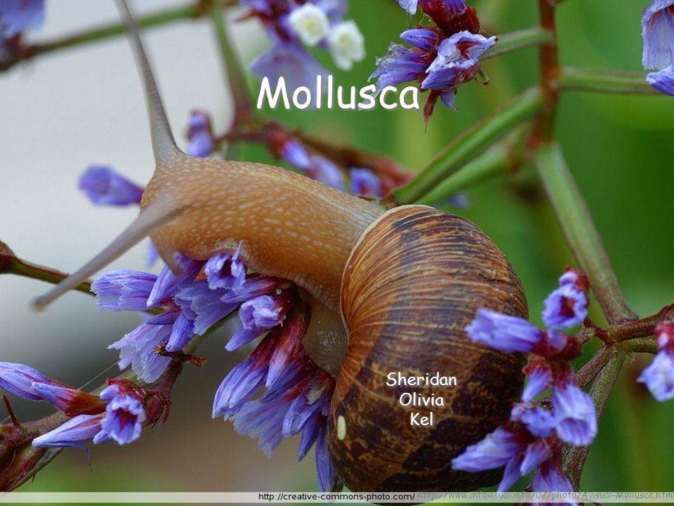 Mollusca Sheridan Olivia Kel